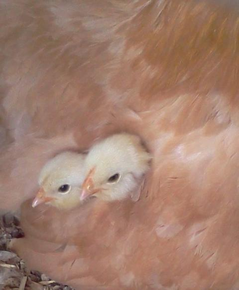 http://www.backyardchickens.com/forum/uploads/15879_broodychicks.jpg