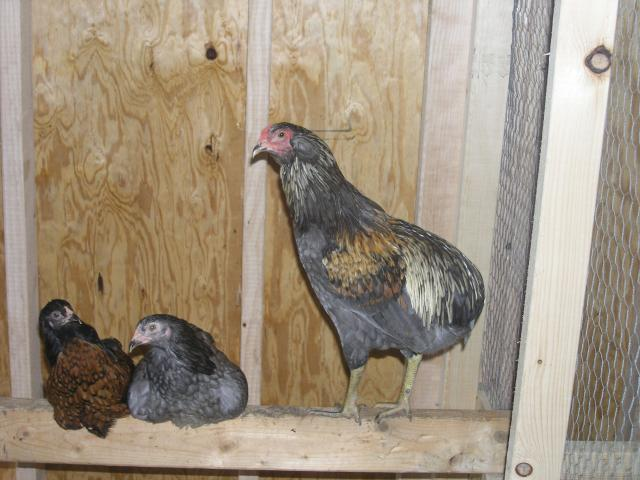 15895_chickens_016.jpg