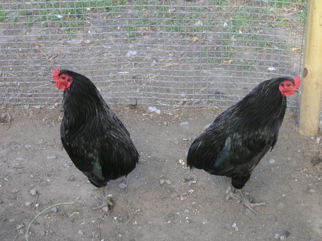 15895_temp_chicken_062.jpg
