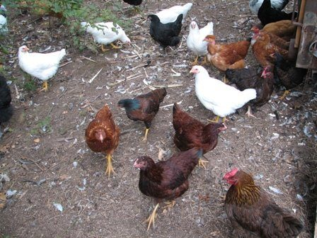 chickens for sale in western massachusetts 17 weeks old