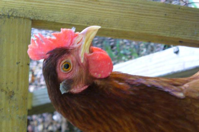 http://www.backyardchickens.com/forum/uploads/16023_p1020130.jpg