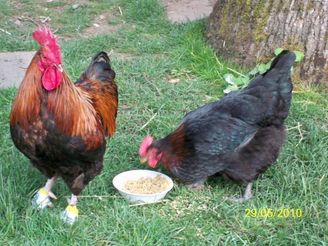 http://www.backyardchickens.com/forum/uploads/16367_bench_112.jpg