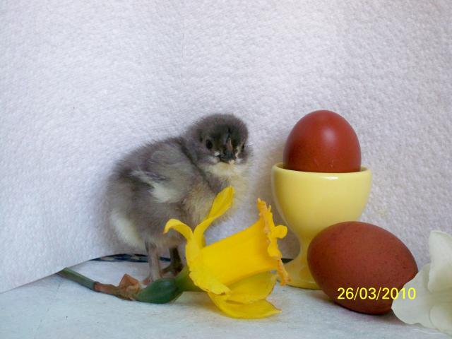 http://www.backyardchickens.com/forum/uploads/16367_pictures_522.jpg