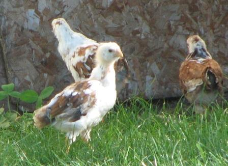 http://www.backyardchickens.com/forum/uploads/16448_orloffchkskarens.jpg