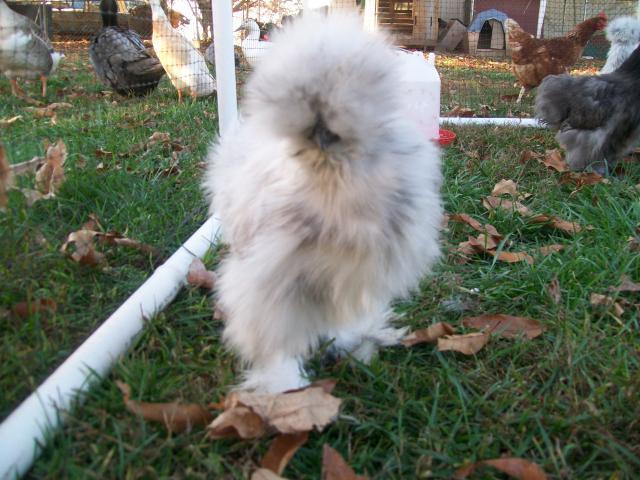 http://www.backyardchickens.com/forum/uploads/16879_bobbi_babies_1.jpg