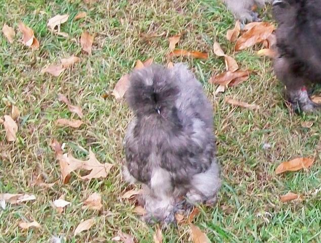 http://www.backyardchickens.com/forum/uploads/16879_bobbi_babies_7.jpg