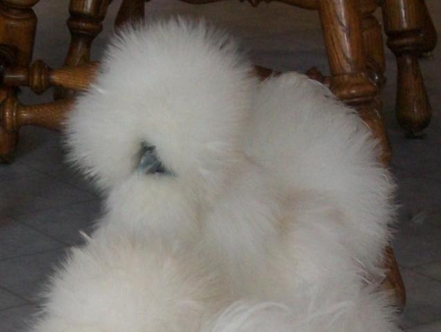 http://www.backyardchickens.com/forum/uploads/16879_daisy.jpg
