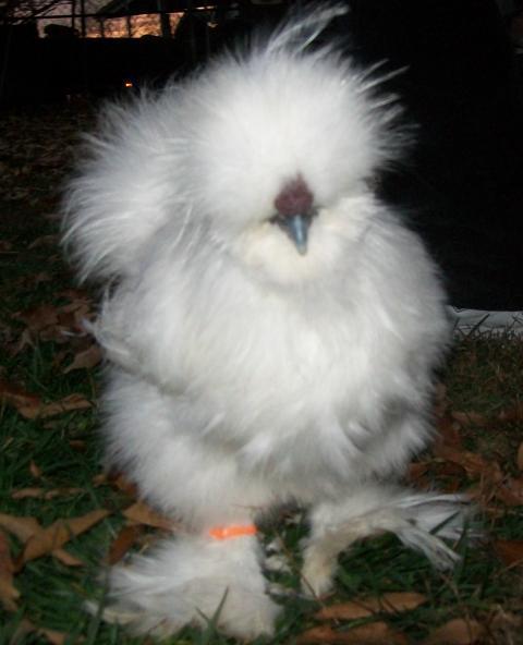 http://www.backyardchickens.com/forum/uploads/16879_new_white_roo_from_deb.jpg