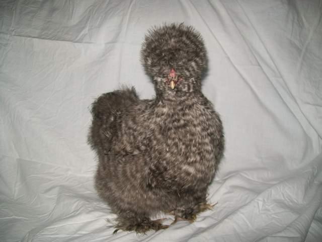 http://www.backyardchickens.com/forum/uploads/16879_zimbabwe_2.jpg