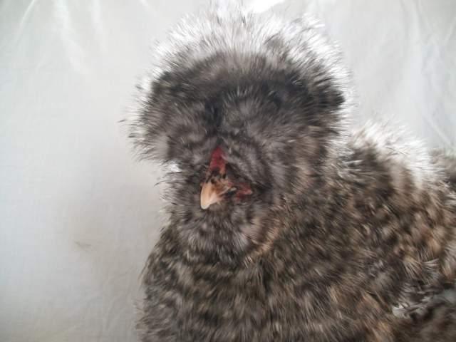 http://www.backyardchickens.com/forum/uploads/16879_zimbabwe_4.jpg