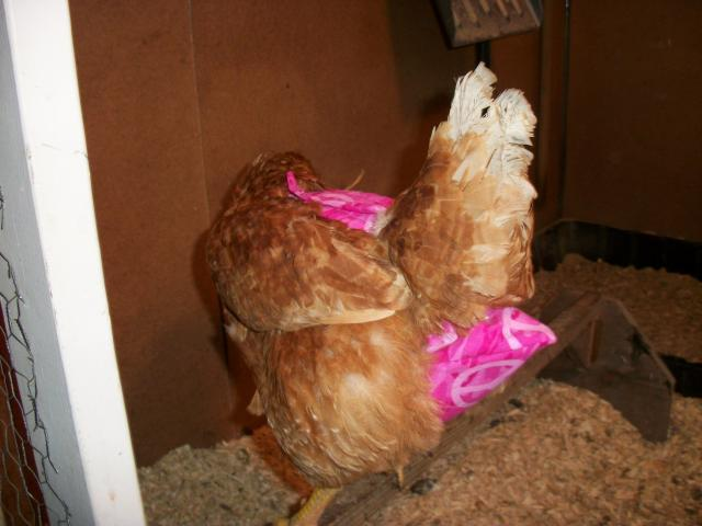 http://www.backyardchickens.com/forum/uploads/17124_chick_diaper.jpg