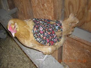 http://www.backyardchickens.com/forum/uploads/17124_wing_protector.jpg