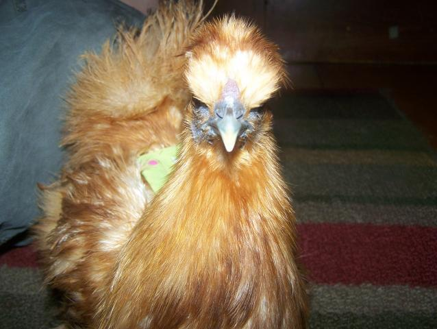 http://www.backyardchickens.com/forum/uploads/17603_287.jpg