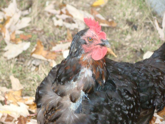 http://www.backyardchickens.com/forum/uploads/17610_dsc01919.jpg