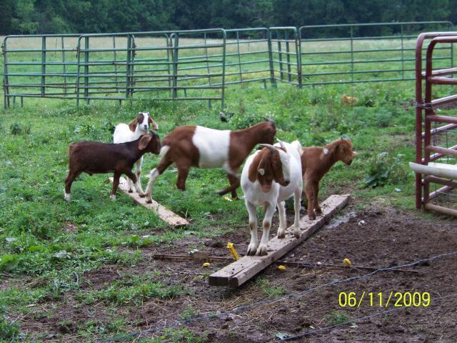 17983_goats.jpg