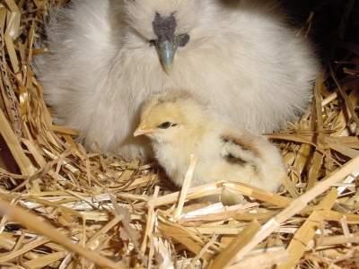 18048_chickandmom.jpg
