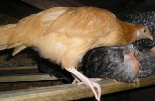 http://www.backyardchickens.com/forum/uploads/18074_minorca.jpg