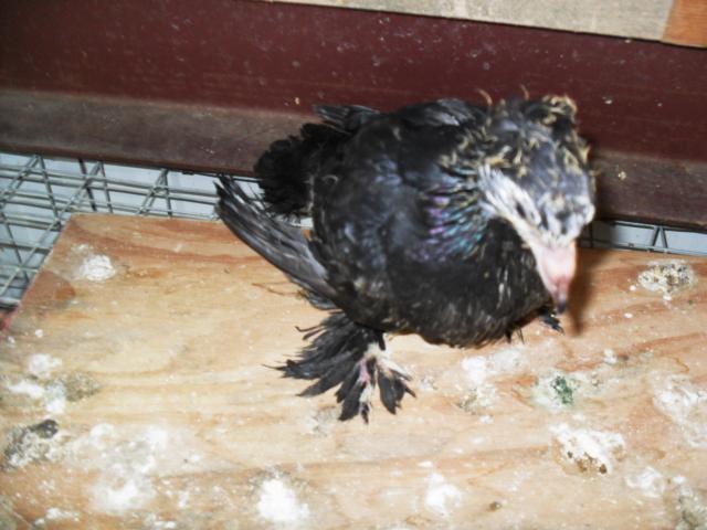 18360_baby_pigeon_002.jpg