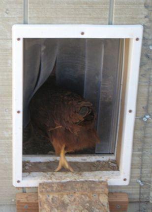 Chicken coop large how wide should a chicken coop door be for D20 chicken coop motor door