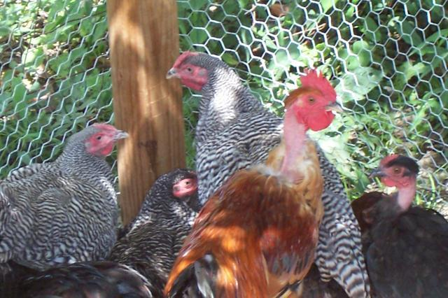 http://www.backyardchickens.com/forum/uploads/18716_picture_196.jpg