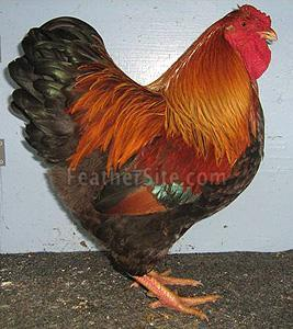 http://www.backyardchickens.com/forum/uploads/18839_partridgewyckloz.jpeg