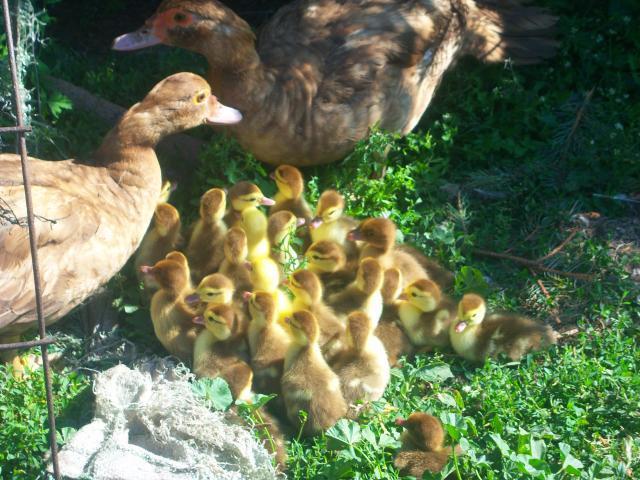 http://www.backyardchickens.com/forum/uploads/19130_baby_scoveys_004.jpg