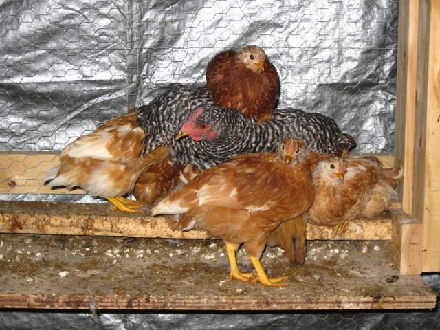 http://www.backyardchickens.com/forum/uploads/19308_img_0349.jpg