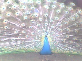 http://www.backyardchickens.com/forum/uploads/19326_bluepeacock.jpg