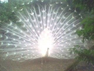 http://www.backyardchickens.com/forum/uploads/19326_whitepeacock.jpg