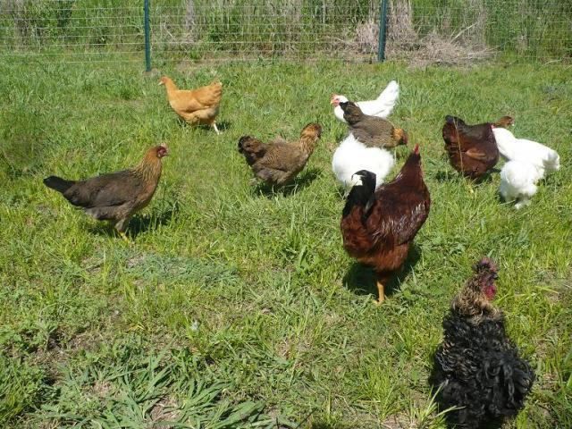 http://www.backyardchickens.com/forum/uploads/19371_p1010273jpg.jpg