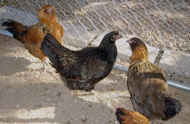 19548_new_chickens_0052.jpg