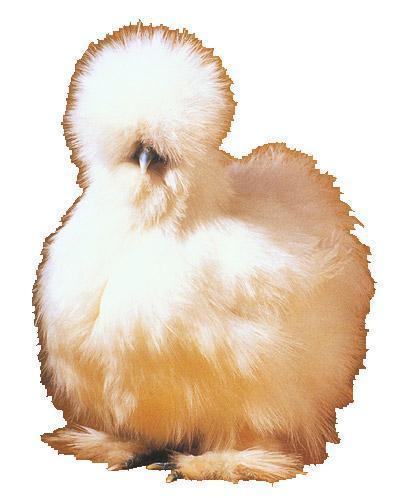 1961_chicken-bantams_silkie1.jpg