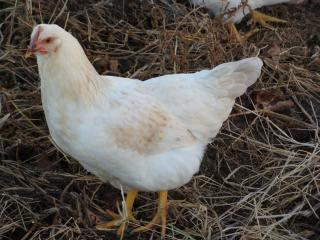 http://www.backyardchickens.com/forum/uploads/19748_chicpic_132.jpg