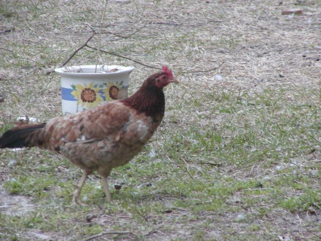 for sale north carolina american gamefowl pick up only
