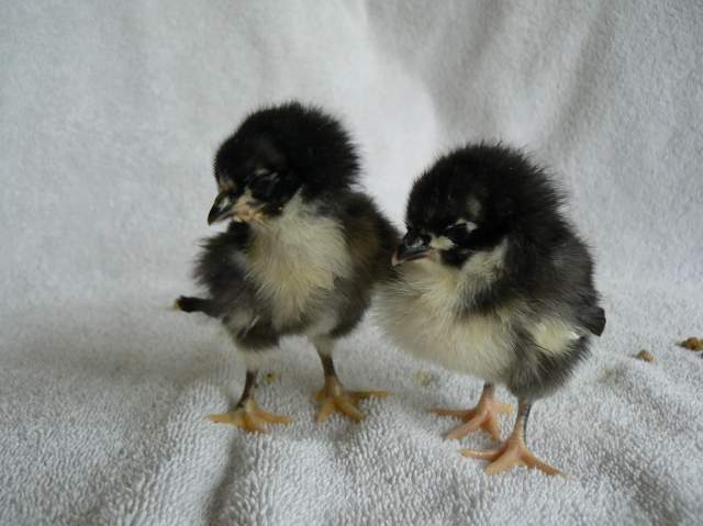 http://www.backyardchickens.com/forum/uploads/20741_p1160063.jpg