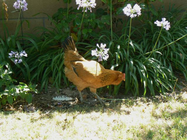 http://www.backyardchickens.com/forum/uploads/20741_p1170782.jpg