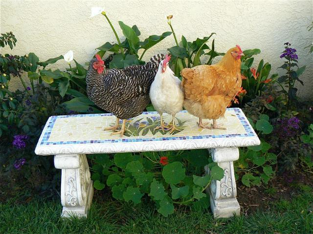http://www.backyardchickens.com/forum/uploads/20741_p1190524.jpg