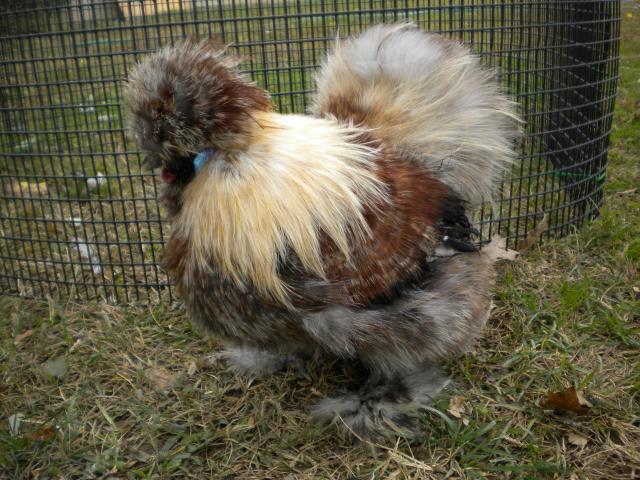 http://www.backyardchickens.com/forum/uploads/20866_dscn1773.jpg