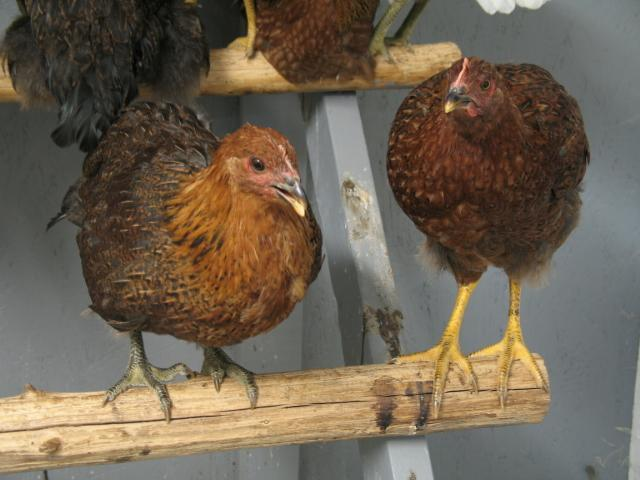 http://www.backyardchickens.com/forum/uploads/2089_partridge_rocks_010.jpg