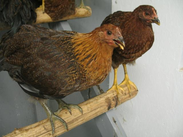 http://www.backyardchickens.com/forum/uploads/2089_partridge_rocks_012.jpg