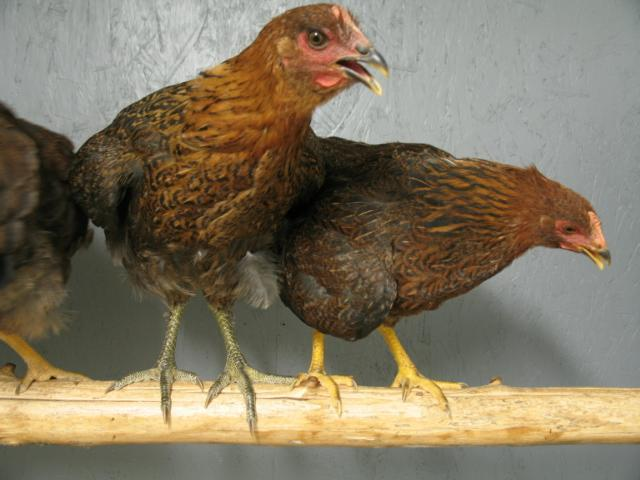 http://www.backyardchickens.com/forum/uploads/2089_partridge_rocks_014.jpg