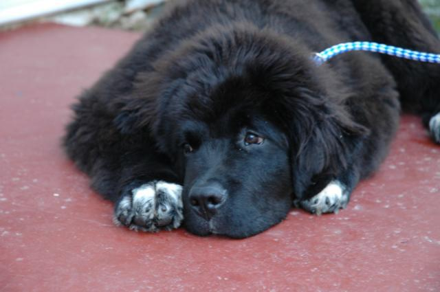 Black Lab Newfoundland Mix Puppies