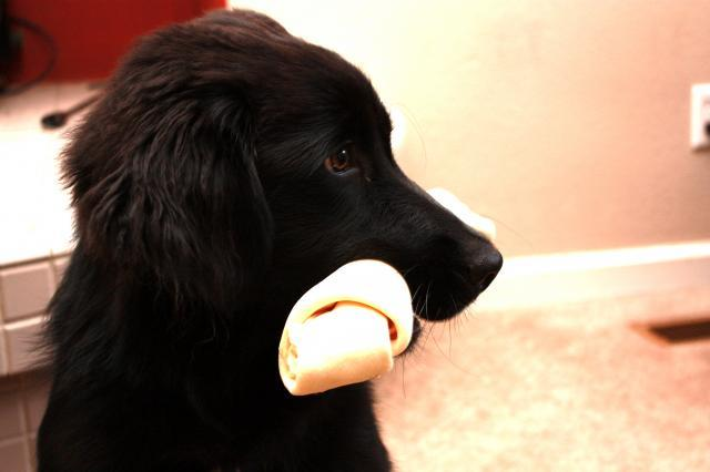 Artikel Terkait Newfoundland Lab Mix Puppies :