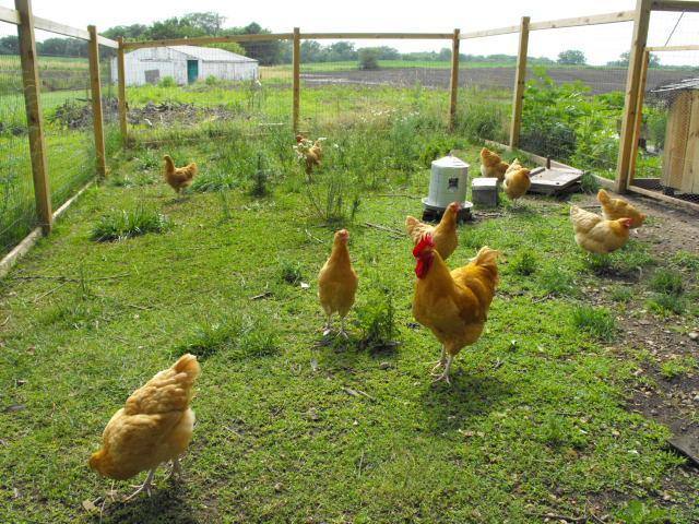 Pictures & Advice on Chicken Yards Please | BackYard Chickens