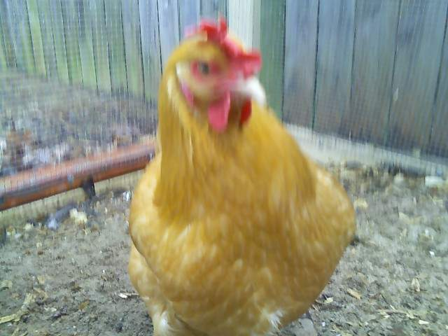 http://www.backyardchickens.com/forum/uploads/21680_buttercup.jpg