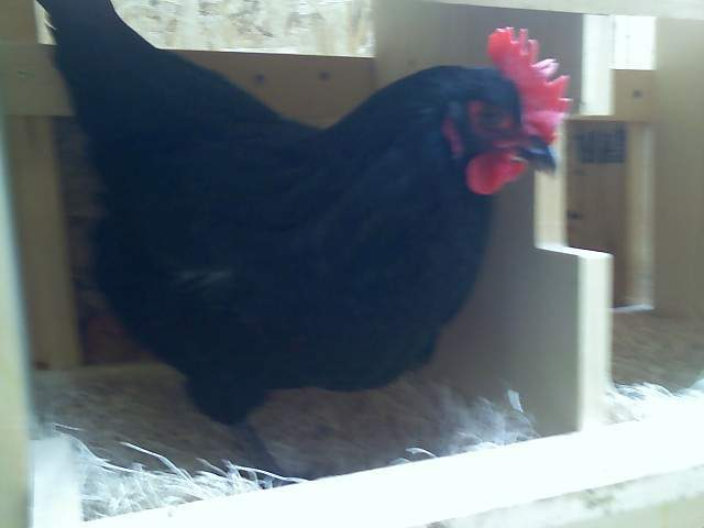 http://www.backyardchickens.com/forum/uploads/21680_pepper.jpg