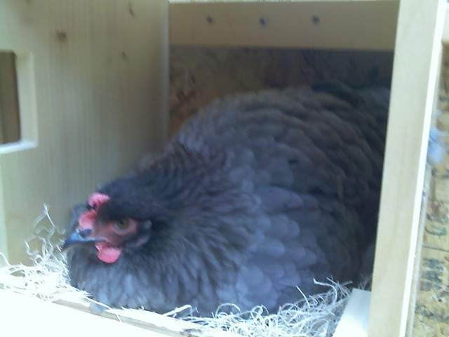 http://www.backyardchickens.com/forum/uploads/21680_shadow1.jpg