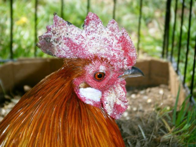 Cock cones rooster cones
