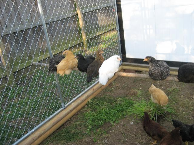 http://www.backyardchickens.com/forum/uploads/22131_4-22-09_006.jpg