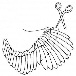 http://www.backyardchickens.com/forum/uploads/22131_wingclipping.jpg